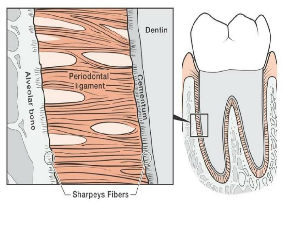 شکل- رباط پریودنتال رشته های نارنجی رنگی است که بین دندان و استخوان قرار گرفته و آنها را به هم متصل نگه میدارد. تصویر سمت چپ بزرگ شده کادر مستطیلی شکل تصویر سمت راست است که رباط پریودنتال را از نزدیک نشان میدهد. در تصویر سمت چپ، دندان در سمت راست قرار دارد که با لایه سمنتوم پوشانده و محافظت میشود و استخوان آلوئولار در سمت راست قرار دارد. رباط پریودنتال از یک طرف به سمنتوم و از طرف دیگر به استخوان وصل شده است.